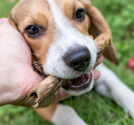 Beagle chien de chasse